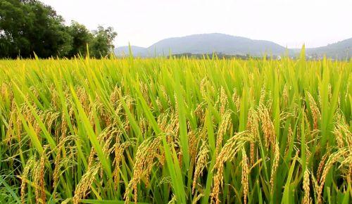 Panorama da safra de arroz 2016/17